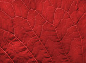 Red leaf texture — Foto Stock