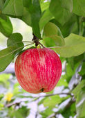 Bright tasty apple — Stockfoto