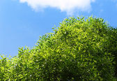 Green tree on a blue sky background — Stock Photo