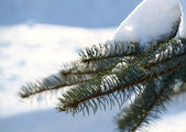Winter branch of pine — Stock Photo