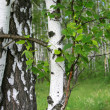Birch tree trunk — Stock Photo