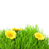 Isolated green grass with yellow flowers — Stock Photo