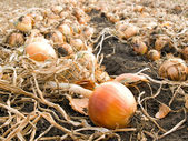 Onion. — Stock Photo