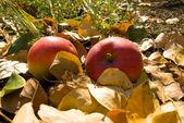 Twee rode appels. — Stockfoto