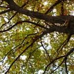 Oak autumn tree leaf — Stock Photo