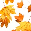 Maple leaves fall — Stock Photo