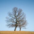 Bare oak — Stock Photo
