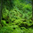 Stock Photo: Dense evergreen forest