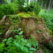 Old stump — Stock Photo