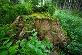 Old stump — Stock Photo