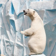 Polar bear in a zoo — ストック写真