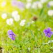 Violets on a meadow — Stock Photo