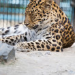 Stock Photo: Jaguar has rest