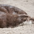 Otter — Stock Photo #7010275