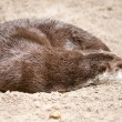 Otter sleeps on sand - Stock Photo
