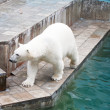 Polar bear in a zoo — Stock Photo #7010285