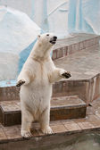 Polar bear in een dierentuin — Stockfoto