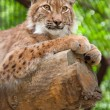 Stock Photo: Lynx lies on log in zoo