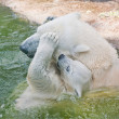 Polar bear in a zoo — Foto de Stock