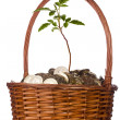 Coins and Plant in a Basket — Stock Photo