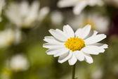 Margarita blanca — Foto de Stock