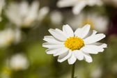 Witte margriet — Stockfoto