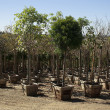 Stock Photo: Tree Nursery