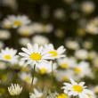 Stock Photo: White Daisy