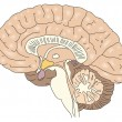 Royalty-Free Stock Imagen vectorial: The human brain