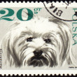 Maltese dog on post stamp — Stock Photo