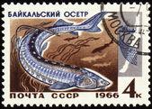Baikal sturgeon on post stamp — Stock Photo