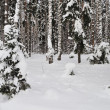 Fresh snow in winter forest - Photo