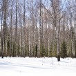 Birch trees in winter — Stock Photo