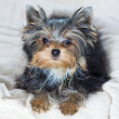 Stock Photo: Puppy Yorkshire Terrier