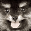 pomeranian puppy — Stock Photo #6888759