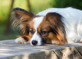Papillon Dog — Stock Photo