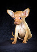 Puppy Russian toy terrier — Stock Photo
