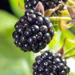 Blackberries bunch — Stock Photo