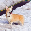 Ðembroke Welsh Corgi — Stock Photo