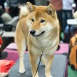 Shiba Inu - Stock Photo
