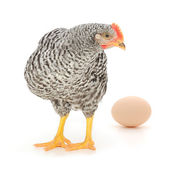 Grey hen with egg — Stock Photo