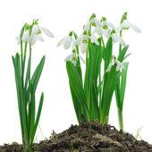 Sneeuwklokjes (Galanthus nivalis) op witte achtergrond — Stockfoto