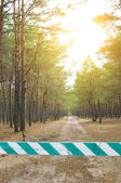 Sunny pine forest — Stock Photo