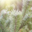 Stock Photo: Green pine brunches