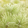 Prickly branches of a fur-tree or pine — Foto Stock