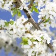 Blossoming spring tree - Stock Photo