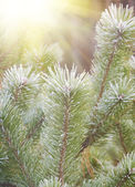 Green pine brunches — Stock Photo
