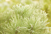 Prickly branches of a fur-tree or pine — Stock Photo
