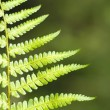 Green Fern Leave — Stock Photo #7888542