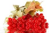Viorne de la branche rouge avec reflet — Photo
